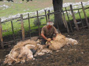 un viaje al mundo de los pastores de picos de europa